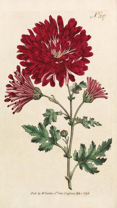 Chrysanthemum Indicum Chrysanthemum Morifolium By At