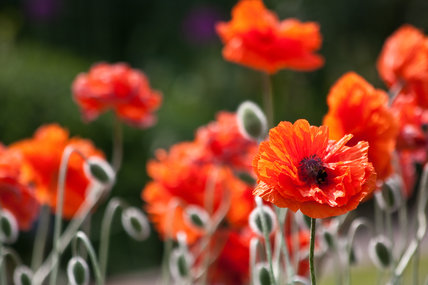 Papaver 'Fire Ball'