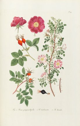 Fig 1. Rosa pimpinellifolia, 2. R turbinata, 3. R lucida.