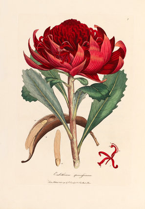 Embothrium speciossisimum