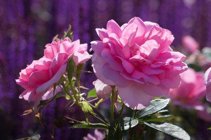Rosa [Cariad] = 'Auspanier'