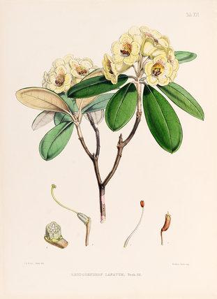 'Rhododendron lanatum'