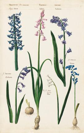 Hyacinthus flore caerulea