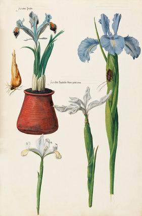 Iris persica, Iris orientalis, Iris latifolia