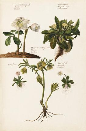 Helleborus niger flo:alb