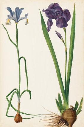 Iris germanica, Iris xiphium