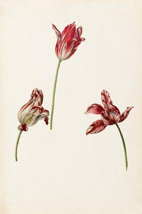 Tulipa 'Semper Augustus'