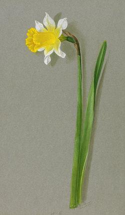 'Narcissus ajax Daniel Dewar'