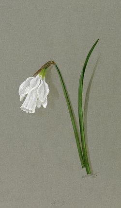 'Narcissus tortuosus'