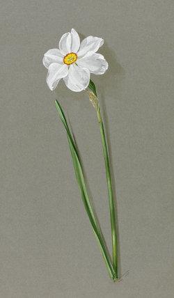 'Narcissus poeticus ornatus'
