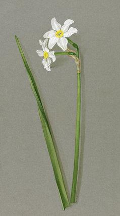 'Narcissus biflorus'