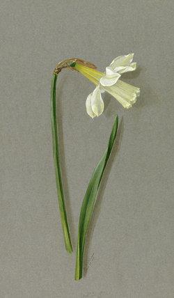 'Narcissus ajax asturiensis'