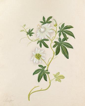 [Passiflora subpeltata]