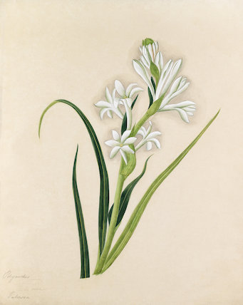 [Polianthes tuberosa]