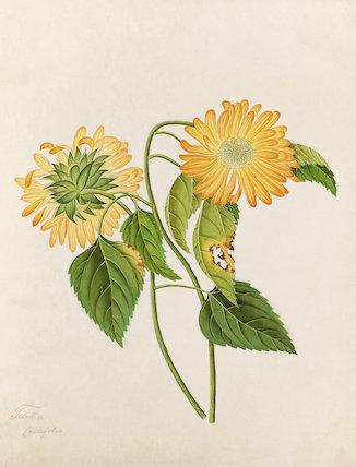 'Telekia cordifolia' [Telekia speciosa]