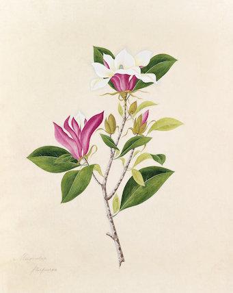 'Magnolia purpurea' [Magnolia liliiflora 'Nigra']