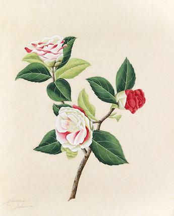 'Camellia japonica'