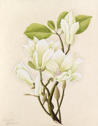 'Magnolia conspicua' [Magnolia denudata]