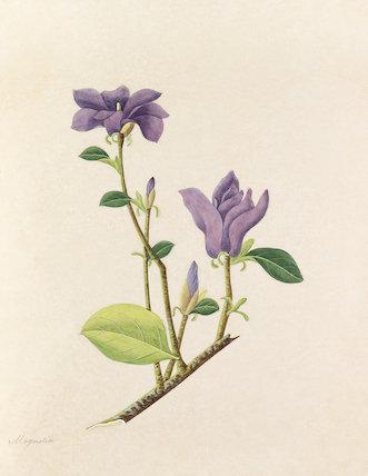 'Magnolia' [Magnolia liliiflora]