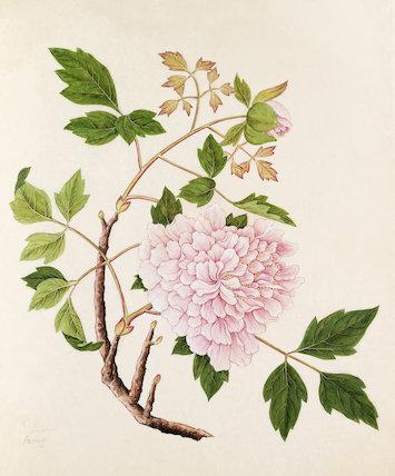 'Paeonia moutan' [Paeonia suffruticosa]