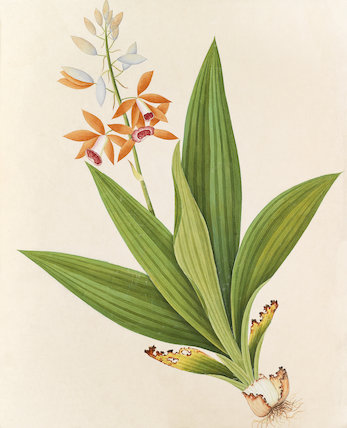 'Platicia tankavillia' [Phaius tankervilleae]