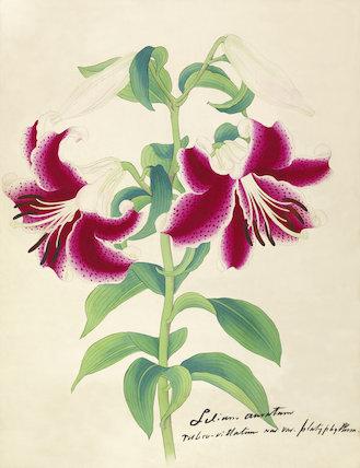 'Lilium auratum var. rubro-vittatum now var. platyphyllum'