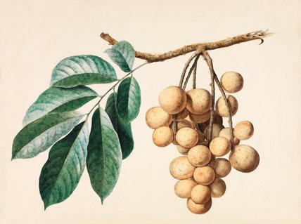 Lansium domesticum var. pubescens