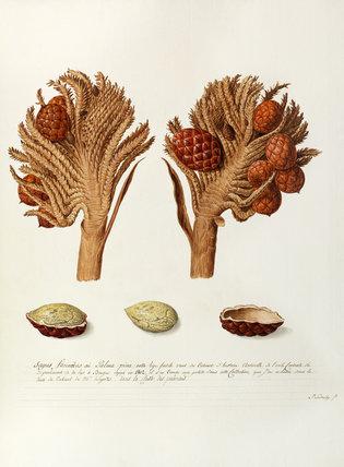 'Sagus farinibus ou Palma pina..'