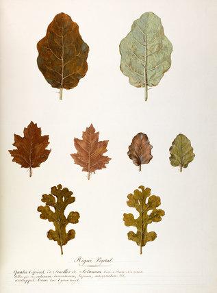 'Quatre especer de feuilles de Solanum'