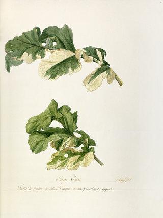 'Feuilles de raifort u jardin d'Iseghem en 1808'