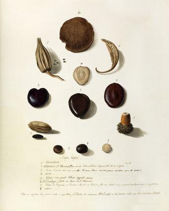 'Carniolaria,Coeurs de St Thomas, noix tonca.grand chêne appelle serris...noix de virginie,