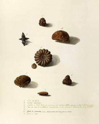 'Cone de Cypres, tribule aquatique, sblier ou noix bura,fruit du guanabe, Gland du Liege,