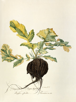 'Rafoit a feuilles, panachees en or'