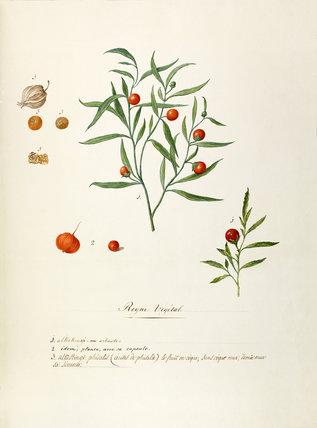 'Alkekingi. arbuste..Alkekengi phisalis'