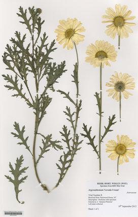 Herbarium specimen of Argyranthemum 'Levada Cream'