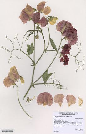 Herbarium specimen of Lathyrus odoratus L. '€˜Madison'