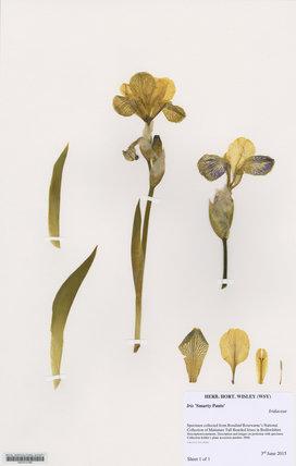 Herbarium specimen of Iris '€˜Smarty Pants'