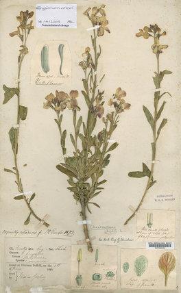 Herbarium specimen of Erysimum cheiri (L.) Crantz