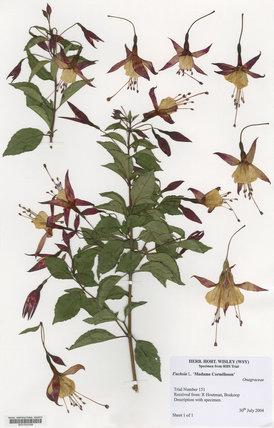 Herbarium specimen of Fuchsia '€˜Madame Cornélissen'