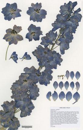 Herbarium specimen of Delphinum '€˜Amadeus'